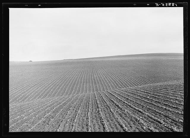 Near Santa Maria, California. Large-scale pea fields. These peas must be handpicked by gangs of laborers for fresh table use. Frozen food process is not used in marketing California peas, although it may be introduced. Frozen peas in southern New Jersey and peas for canning in Wisconsin are machine harvested