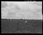 Day laborers hoeing cotton. Many tenant farmers become day laborers on mechanized farms. Near Corsicana, Texas