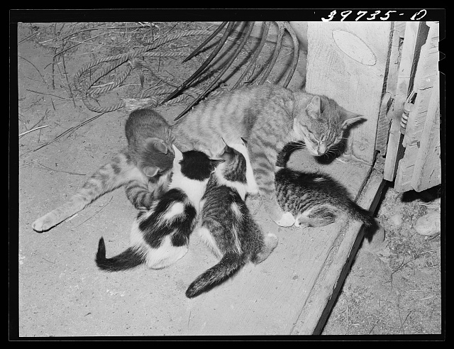 Cat and her kittens. Canyon County, Idaho