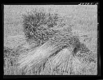 Wheat in the shock. Garfield County, Washington. It is unusual to see wheat in shock anymore since the combines are most generally used. This particular wheat was to be used for cattle feed
