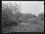 New England hurricane. Apple orchard near North Brookfield, Massachusetts. This orchard has seven thousand trees and eighty-five percent of them went down
