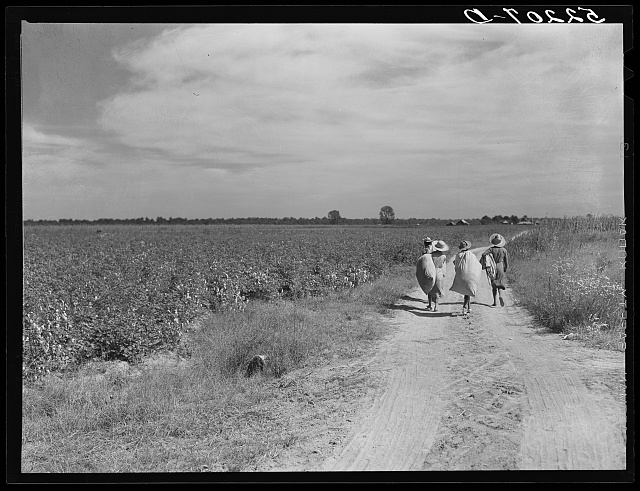 Negro cotton pickers with bags of cotton on their backs, Mileston Plantation. Mississippi Delta, Mississippi