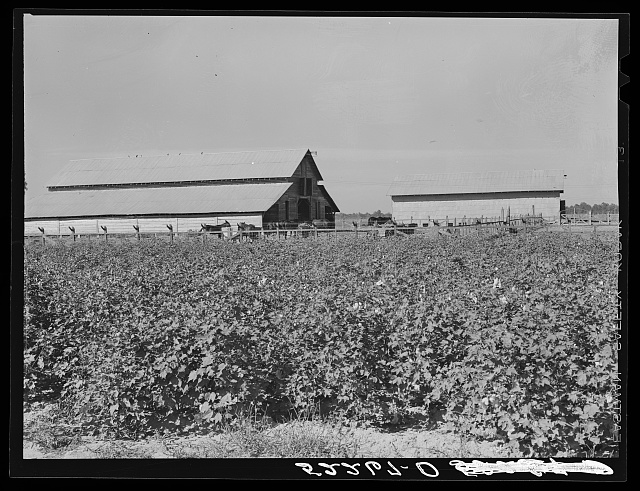 Stockbarns with cotton field in foreground. Marcella Plantation, Mileston, Mississippi Delta, Mississippi