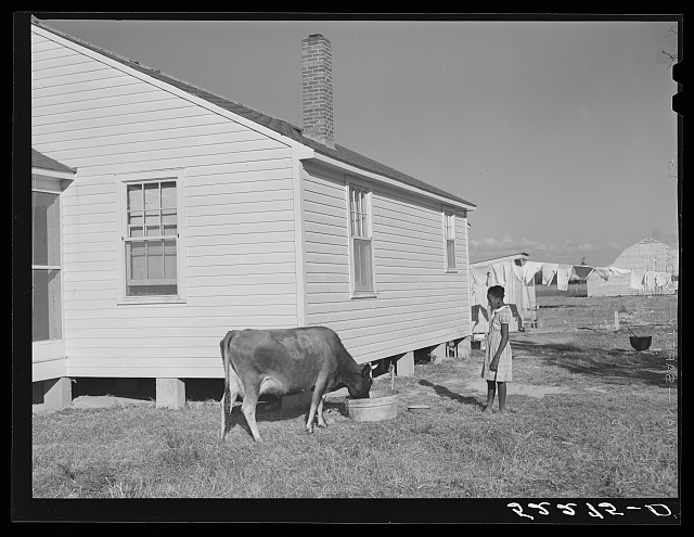 Cow and new home of Cube Walker, Negro tenant purchase client. Belzoni, Mississippi Delta, Mississippi