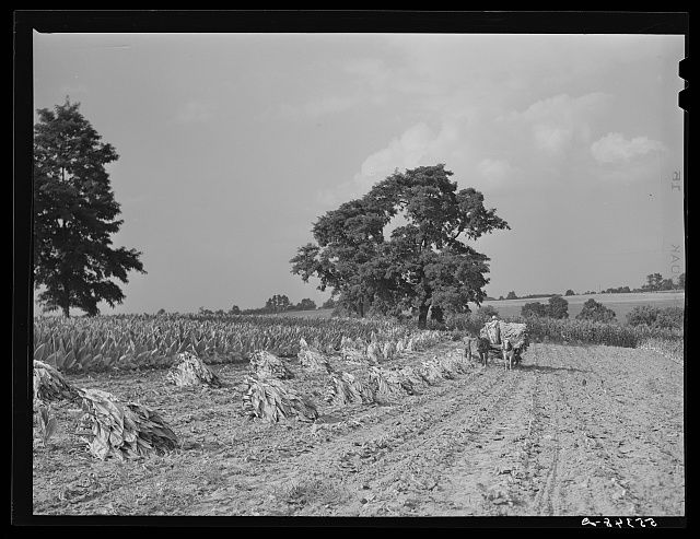 Tobacco on Russell Spear's farm near Lexington, Kentucky