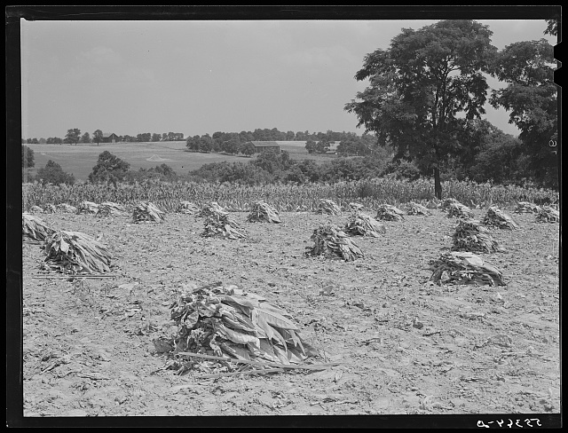 Burley tobacco, after it has been cut and wilted, is placed in small piles before being picked up by wagon and taken to dry and curing barn. Russell Spear's farm near Lexington, Kentucky