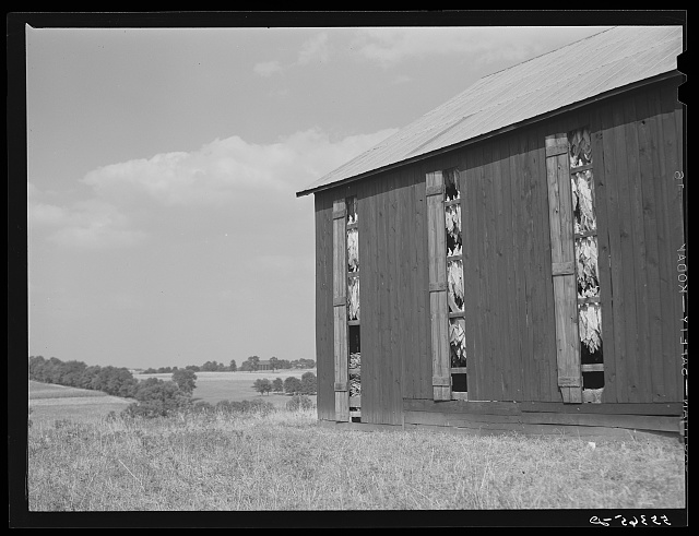 Barn full of tobacco on Russell Spear's farm near Lexington, Kentucky