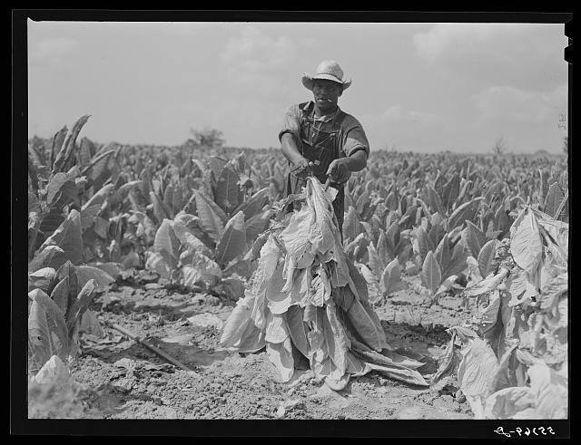 Farmers cutting tobacco and putting it on sticks to wilt before taking it to barn for drying and curing. In region between Louisville and Lexington, Kentucky