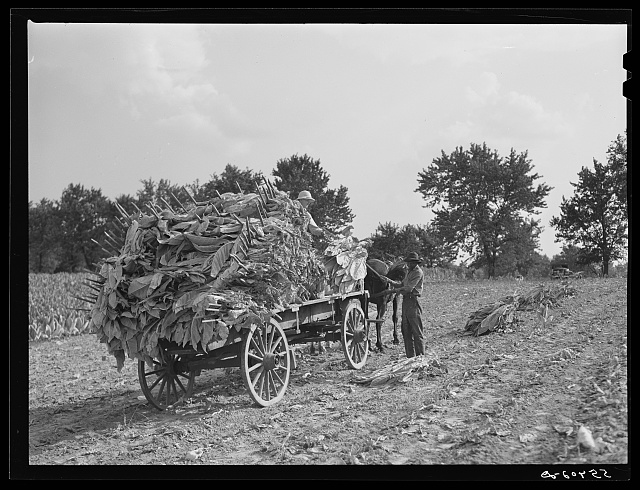 Taking burley tobacco in from the fields after it has been cut to dry and cure in the barn. On Russell Spear's farm near Lexington, Kentucky