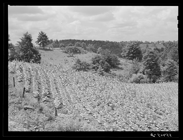 Tobacco stunted by drought near Morehead, Kentucky