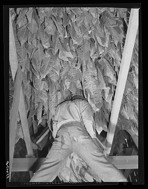 Hanging burley tobacco in the barn to dry and cure. On Russell Spear's farm near Lexington, Kentucky