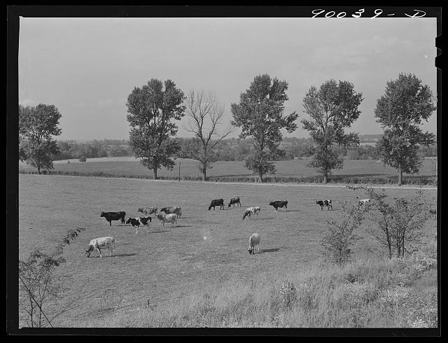 Dairy cows in pasture on farm near Dayton, Ohio