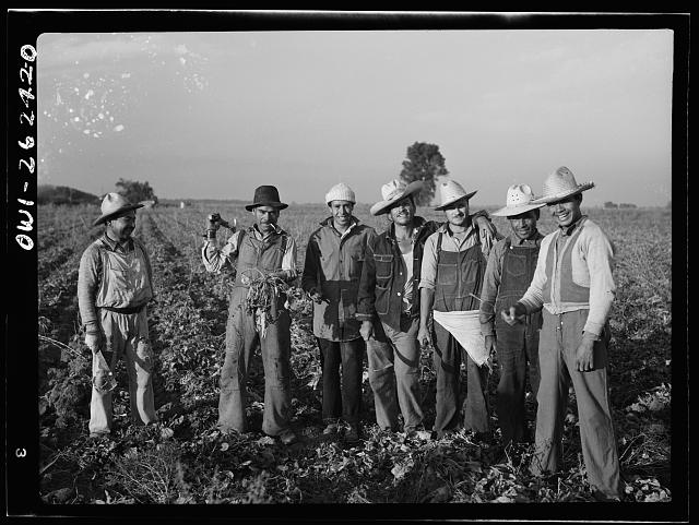 Stockton (vicinity), California. Mexican agricultural laborer topping sugar beets