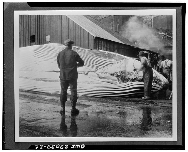 "Whale blubber sliced from body. The first process in cutting up a humpback whale, in which the chain and cable are attached to the blubber, is shown here. As the cable is wound on the drum by the steam winch, the blanket-like layer of blubber is pulled back as fast as the workman with the ""cutting-spade"" can cut it loose from the body"