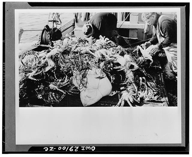 "The giant ""King Crab"" of the Bering Sea, which before the war supplied a substantial amount of the canned crab meat which the Japanese sold to the United States, will be canned commercially by Americans for the first time this year. Prior to the war the Japanese were taking the ""King Crab"" in sight of American territory, canning it on floating canneries, and shipping it to the United States for sale. In one pre-war year alone we imported 10,720,000 pounds of crab meat valued at 4,582,000 dollars from Japan and ninety-five percent of our canned crab meat came from this source"