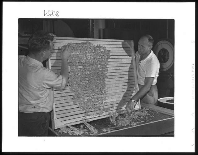 Emptying dehydrated cabbage into hopper, Western Regional Agricultural Research Laboratory, Albany, California