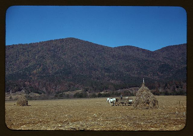 [Cornshocks in mountain farm along the Skyline Drive in Virginia]