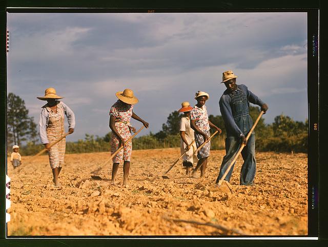 Chopping cotton on rented land near White Plains, Greene County, Ga.