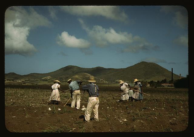 Cultivating sugar cane of the Virgin Islands Company land, vicinity of Bethlehem, St. Croix