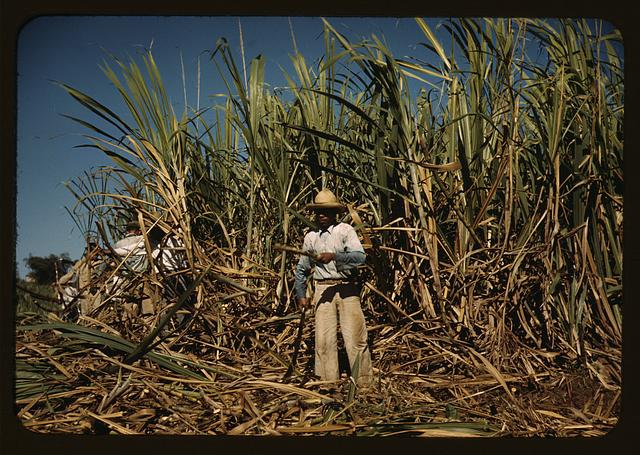 Sugar cane worker in the rich field, vicinity of Guanica, Puerto Rico