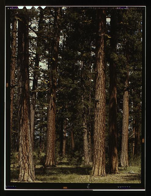 Stand of virgin ponderosa pine, Malheur National Forest, Grant County, Oregon
