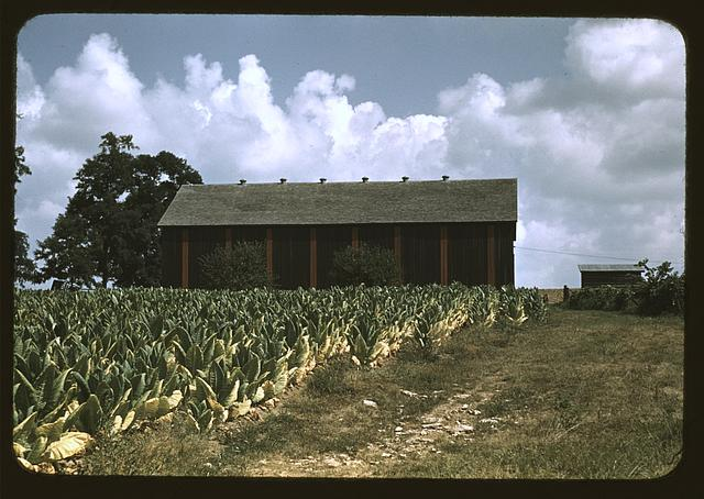 Field of Burley tobacco on farm of Russell Spears, drying and curing barn in the background, vicinity of Lexington, Ky.