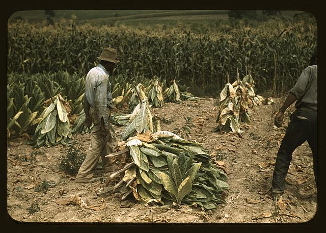Cutting Burley tobacco and putting it on sticks to wilt before taking it into the curing and drying barn on the Russell Spears' farm, vicinity of Lexington, Ky.
