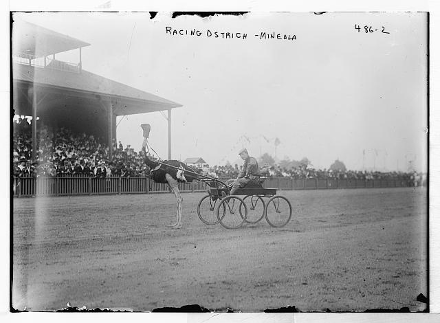 Racing ostrich, Mineola