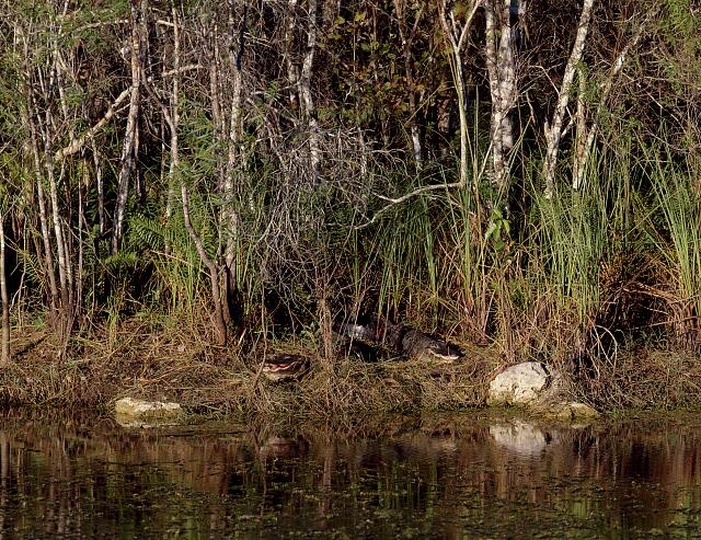Two alligators (look carefully!) in the Everglades, Florida