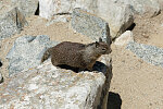 California ground squirrel on rocks near 17-Mile Drive, a scenic road through Pacific Grove and Pebble Beach on the Monterey Peninsula in California