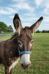 An adorable donkey in a field in Bonham, Fannin County, Texas