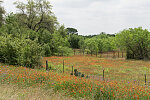 Field of wildflowers in Gonzales County, north of Gonzales, Texas