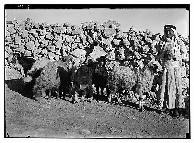 Shepherd leading sheep from sheep fold. Shepherd near Shepherds' Fields.