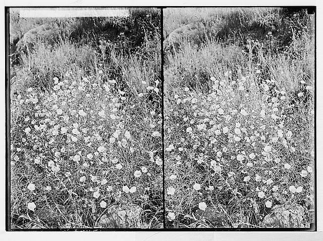 Wild flowers of Palestine. Convolvulus (C. Dorycnium L.).