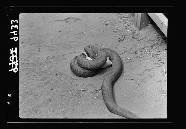 Tel Aviv Zoo. Rat caught by snake & squeezed to death (closer)