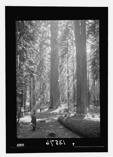 Seqouia [i.e., Sequoia] & Kings Canyon National Park, July 1950 (11th to 23rd). The Sherman Tree group (with rays, myself standing further off)