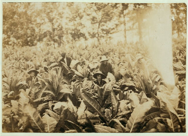 Suckering tobacco on Lowe farm. Lewis W. Hine. See 4485.  Location: Winchester [vicinity], Kentucky.