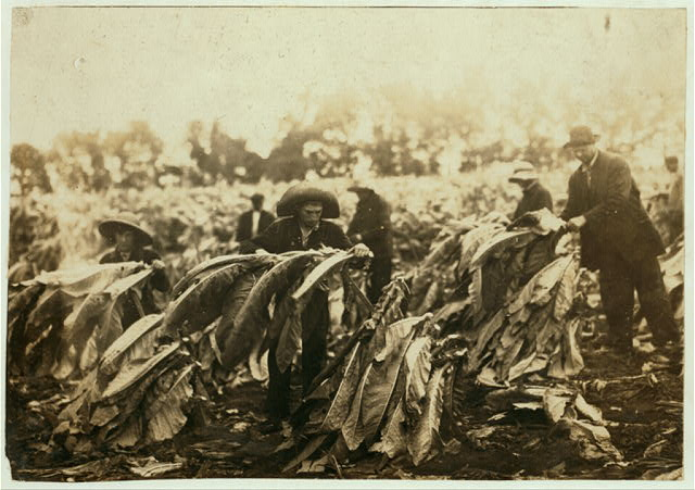 Spiking tobacco on Lowe farm. Roland 13 and Bush 14 years old will go to Pretty Run School in a week or two, when tobacco is all in. It is a school day and school began 2 months ago. Boys say they have been in school some this year.  Location: Clark County--Winchester [vicinity], Kentucky