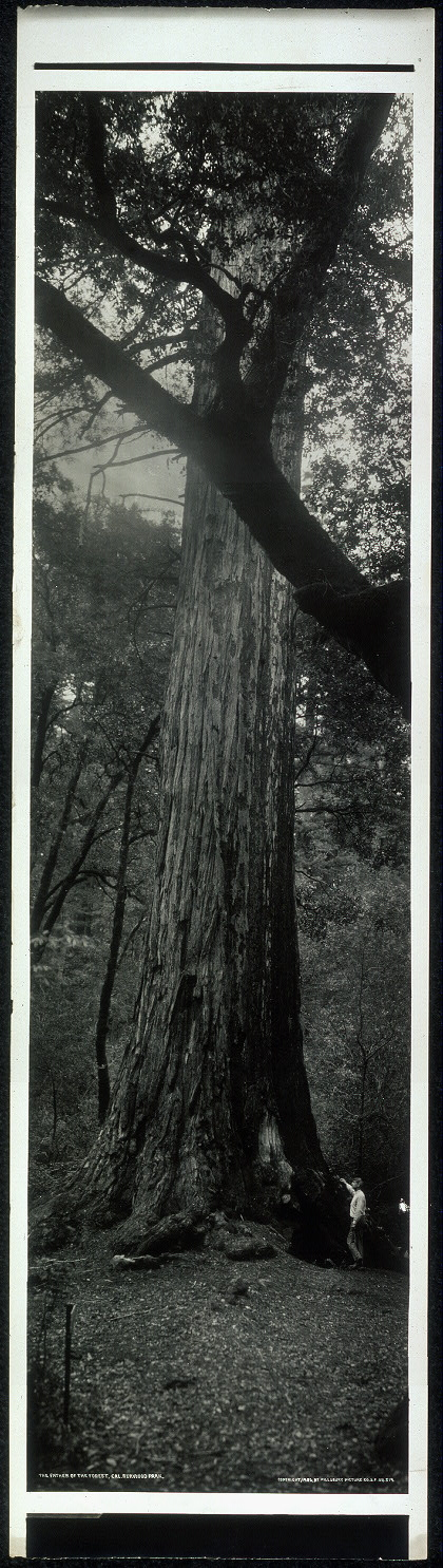 The Father of the Forest, Cal. Rerwood [i.e. Redwood] Park