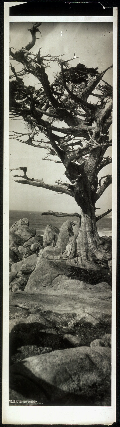 The old cypress tree, Monterey