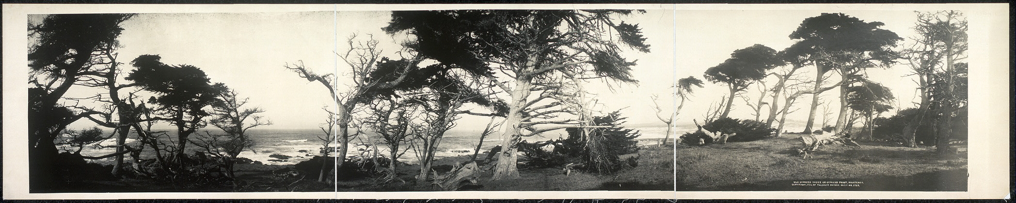 Old cypress trees on Cypress Point, Monterey