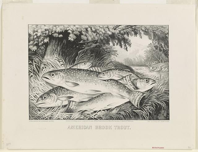 American brook trout