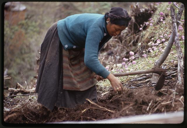 [Woman (member of the Jorbu family), hoeing in field, Lachung, Sikkim]