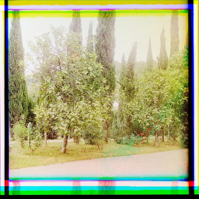 Inzhir (figovoe derevo). V Botanicheskom sadu v Sukhumi︠e︡
