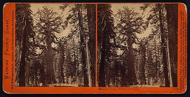 Grizzly Giant, 33 feet diameter, Mariposa Grove, Mariposa County, Cal.