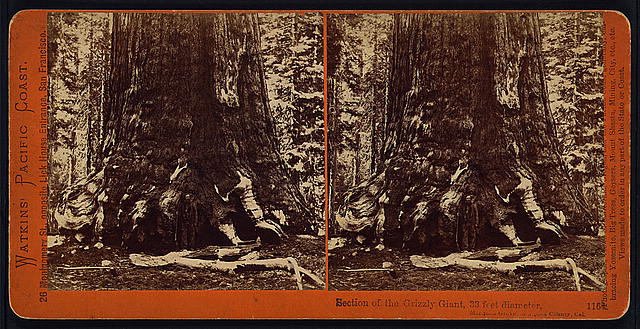 Section of the Grizzly Giant, 33 feet in diameter, Mariposa Grove, Mariposa County, Cal.