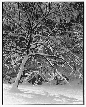 Winter scenes. Snow-covered tree