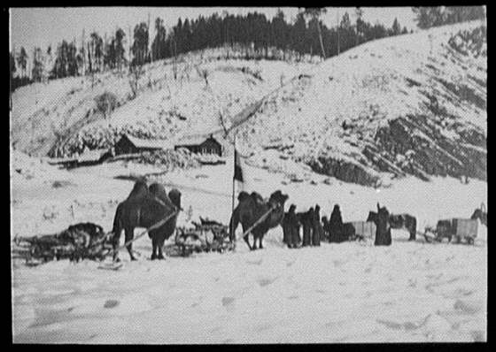 Bactrian camels of a military caravan on the Amur River, near view